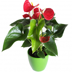 Potted Anthurium Plant