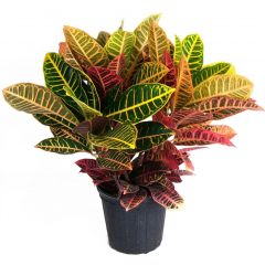 Potted Croton