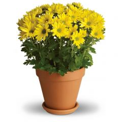 Daisy Chrysanthemums